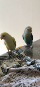 Love Birds - 1 Year Old - Breeding - No Cage