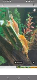 Pleco fish. Aquarium tropical fish