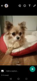 Chihuahua dog female for sale