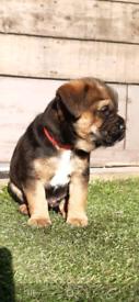Boarder terrier pups 2 boys left