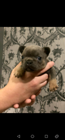 French bulldogs blue and tans