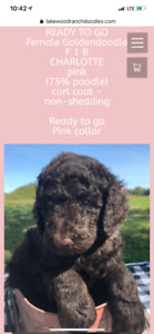 Goldendoodles - shed free Ready soon