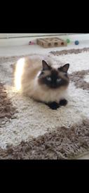 Missing Ragdoll Cat - £750 reward