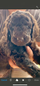 Goldendoodle  puppies - CHOCOLATE F 1 B