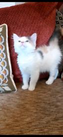 Sphynx/ragdoll cross kittens