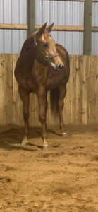 2yr old QH Filly