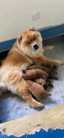 Beautiful Pedigree Chow Chow Puppies