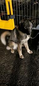 German shepherd X Husky