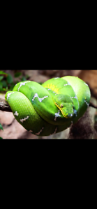*WANTED*  EMERALD GREEN TREE BOA (CORALLUS CANINUS)