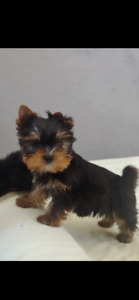 PUREBRED PUPPIES YORKSHIRE TERRIER