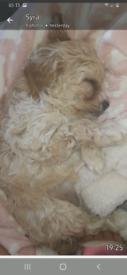 Puppy cavapoo