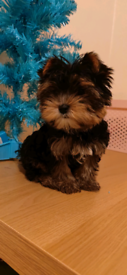 Yorkshire terrier miniature puppies