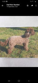 A male miniature brown poodle