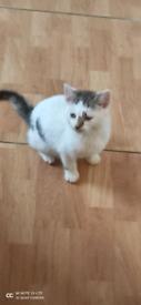 12 weeks cute male kitten for sale