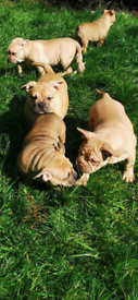 Stunning bully puppies