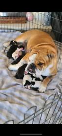 English bulldog cross puppies (cockerbull) ****2 boys let ****