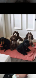 Beautiful Cocker spaniel pups