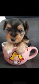 Yorkie miniature biewer puppies