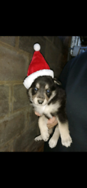 Girl now available German shepherd