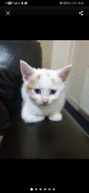 Ginger and white kitten blue/grey eyes