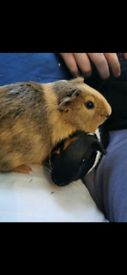 Two Male Guinea pigs with cage and assesories