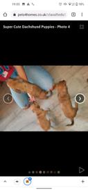 Daschshaund puppies for sale x