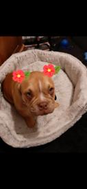 American pocket bully puppy