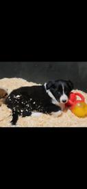 Collie x lassie female puppy