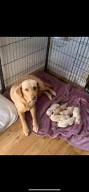 KC Registered Labrador Puppies