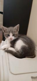 Beautiful grey and white male kitten