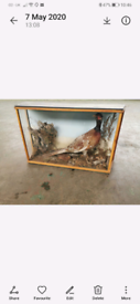 Taxidermy Pheasant in glass cabinet