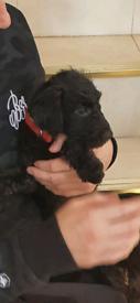 Miniature Poodle X Patterjack