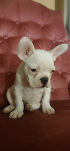 Beautiful puppies french bulldog