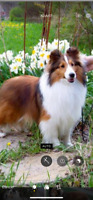 Wanted to buy: Male sheltie