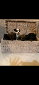 Chihuahua x Border Terrier pups for sale