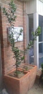Bay Tree. 1.6m Healthy and vigorous.
