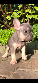 Blue & Tan French Bulldog Pups