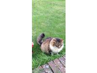 Beautiful Tabby Maine Coone Cat
