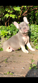 Lilac Tan Male French Bulldog Pup