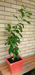lemon tree, beautiful, 40 inch high