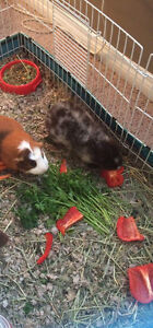 Two male friendly guinea pigs