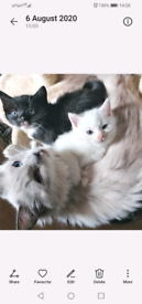 X ragdoll kittens *ONE FEMALE AVAILABLE*