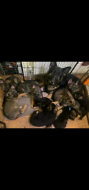 KC Registered German Shepherd Puppies