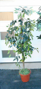 Indoor Tree`s   - fill in a corner and more  REDUCED