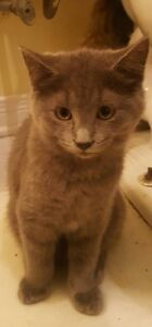 """Cole"" - beautiful female kitten available for adoption"