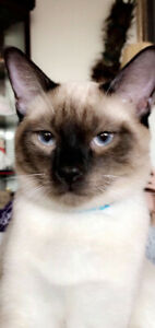 Male Siamese 7 mths old