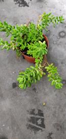 Gelly beans plant