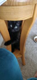 12 week black kitten