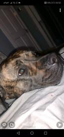 Pressa/mastiff x American bulldog pups