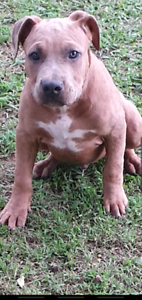 Blue fawn american staffy pup price dropped